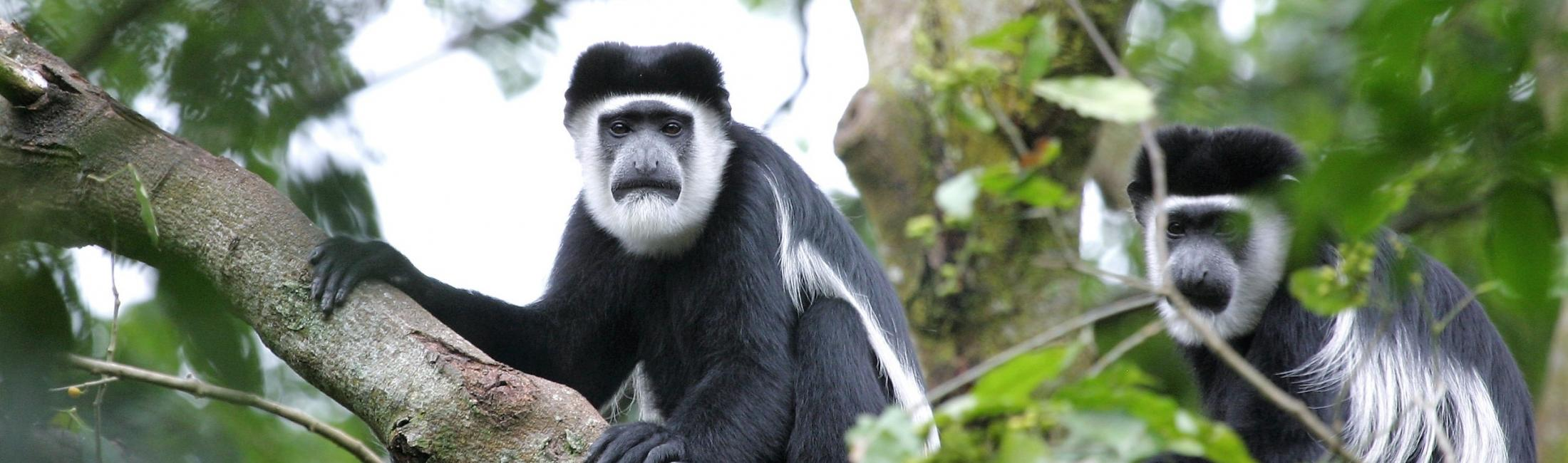 Two Black-and-white Colobus Monkeys (Kibale Forest Uganda)
