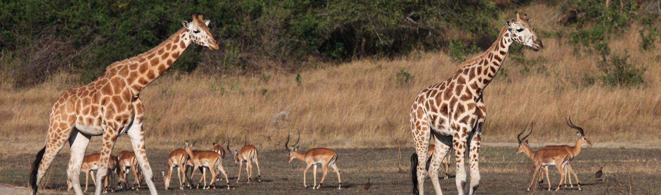 Rothschild's Giraffes with Impala Lake Mburo National Park (Uganda)