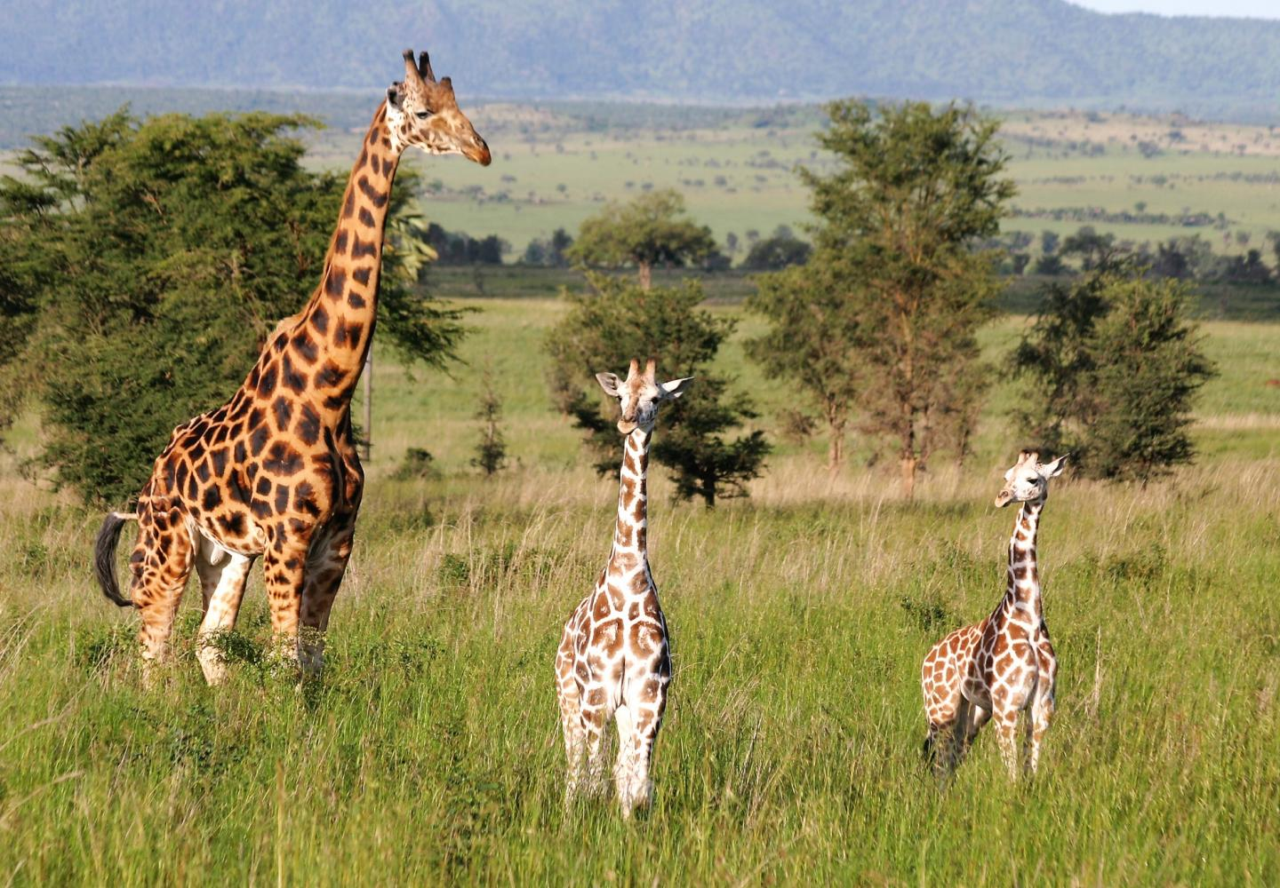 Male and two young Rothschild's giraffe (Kidepo Uganda)chison Falls