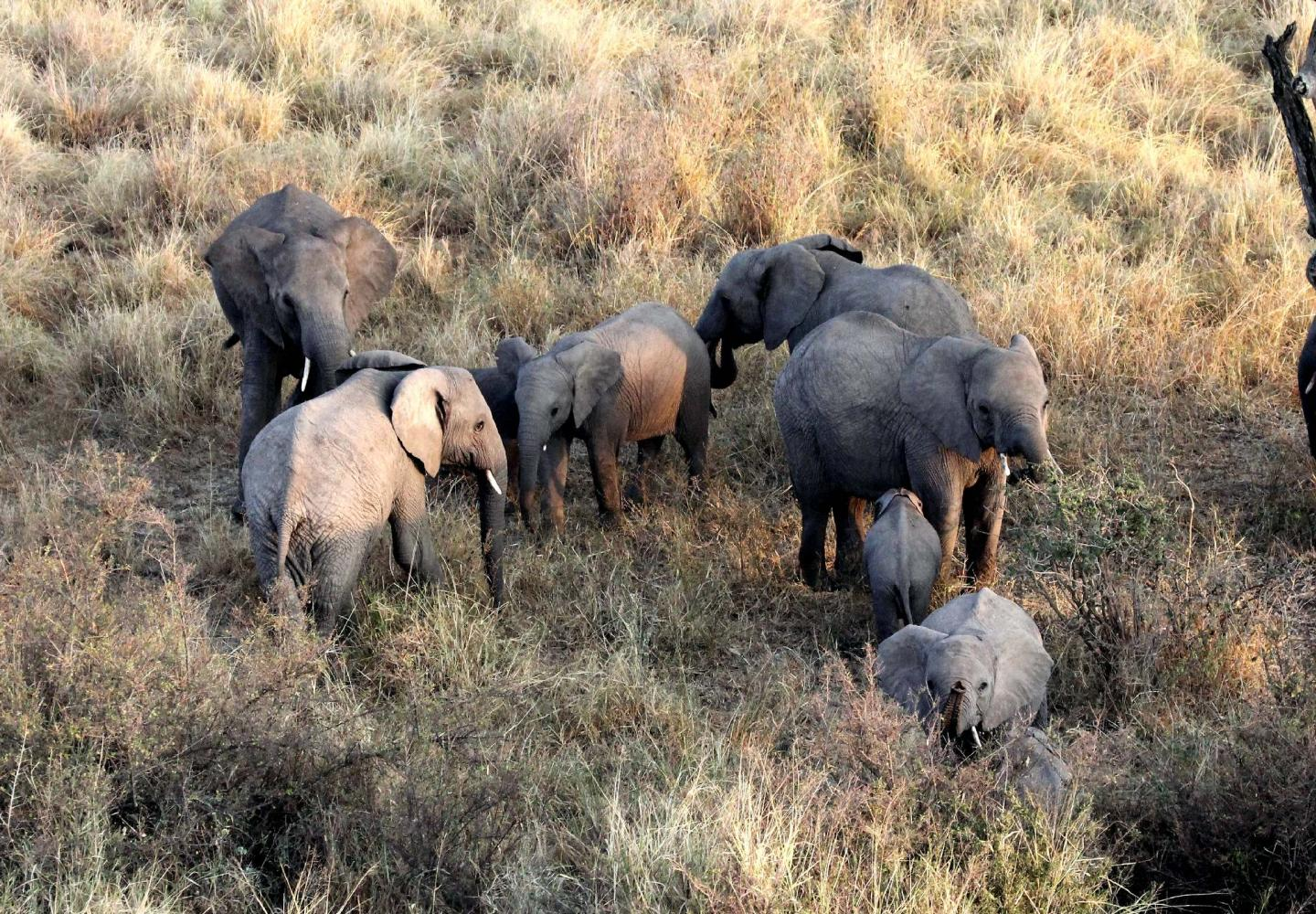 Five Elephants sighted from Hot Air Balloon (Murchsion Falls Uganda)