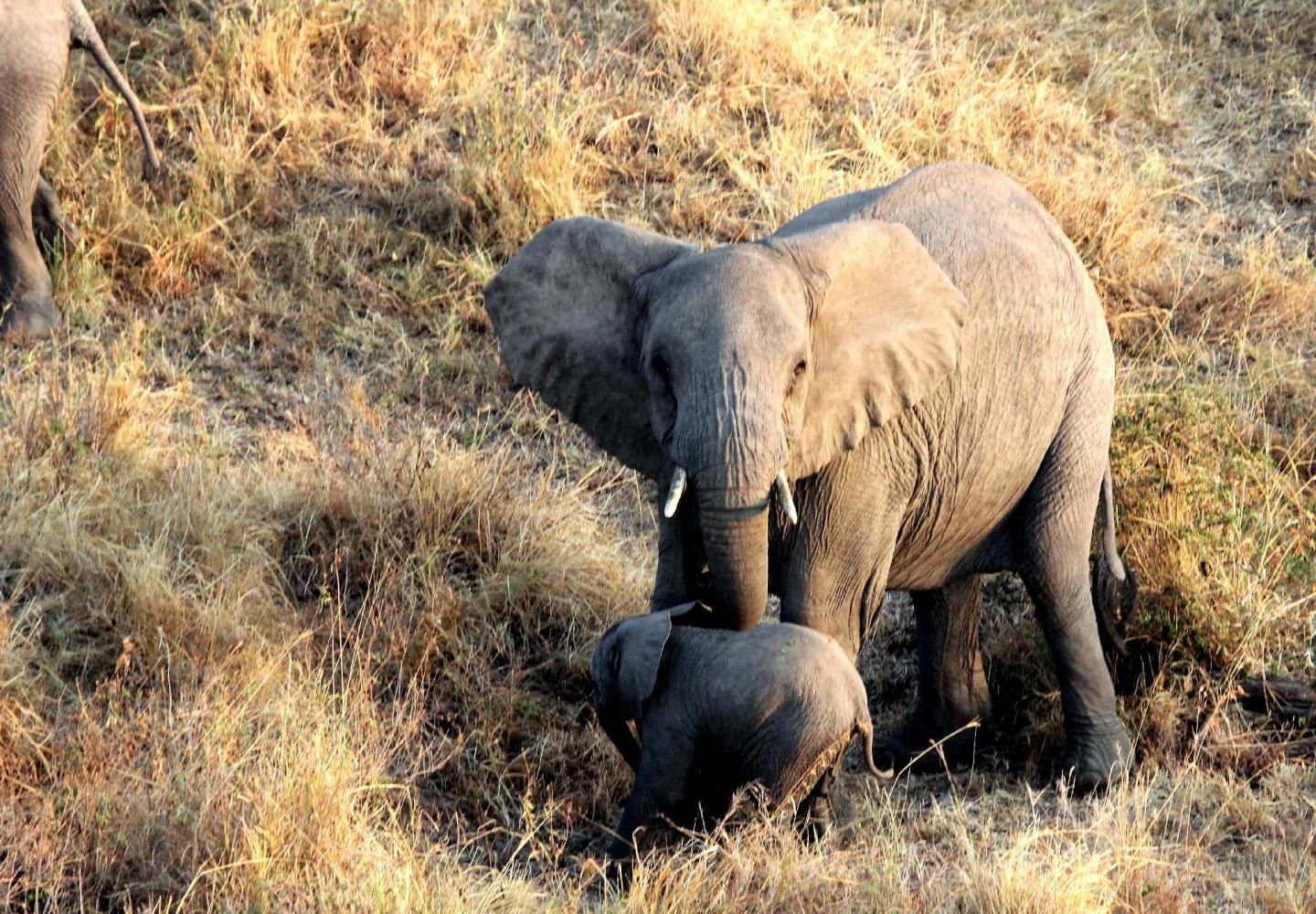 Elephantbaby and mother sighted from Hot Air Balloon (Murchsion Falls Uganda)