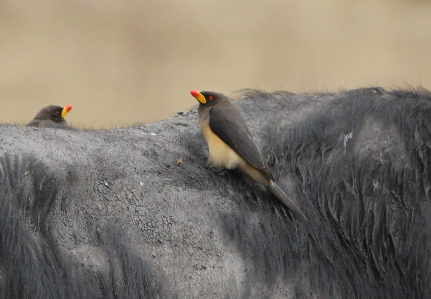 Yellow-billed Oxpecker (Uganda)