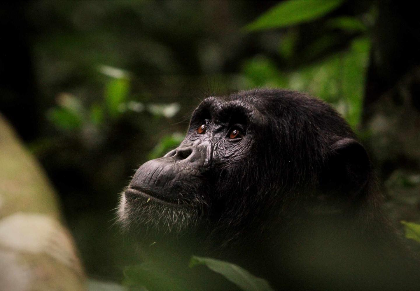 Male Chimpanzee on the outlook (Kibale Forest National Park)