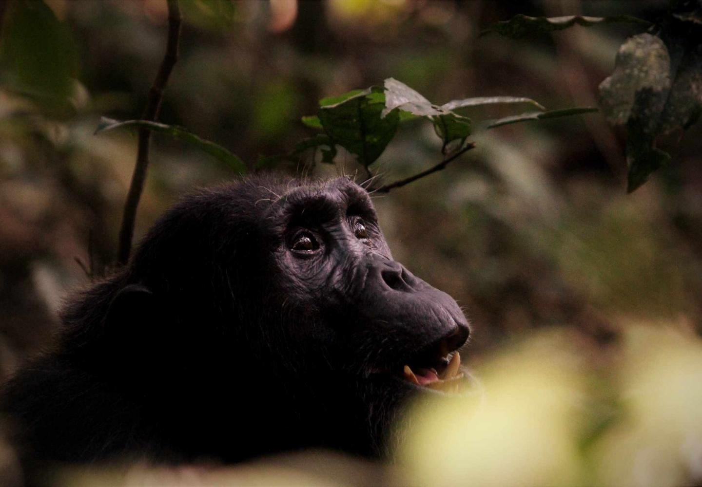 Male Chimpanzee looking at Canopy - Kibale Uganda