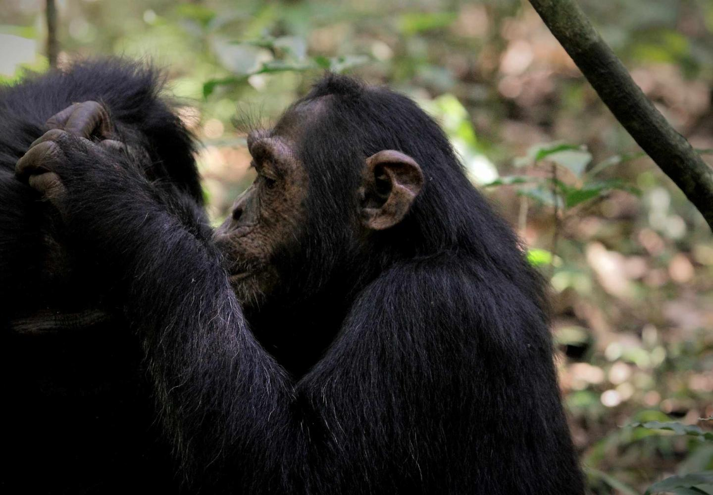 Juvenile chimpanzee grooming (Kibale Forest National Park)