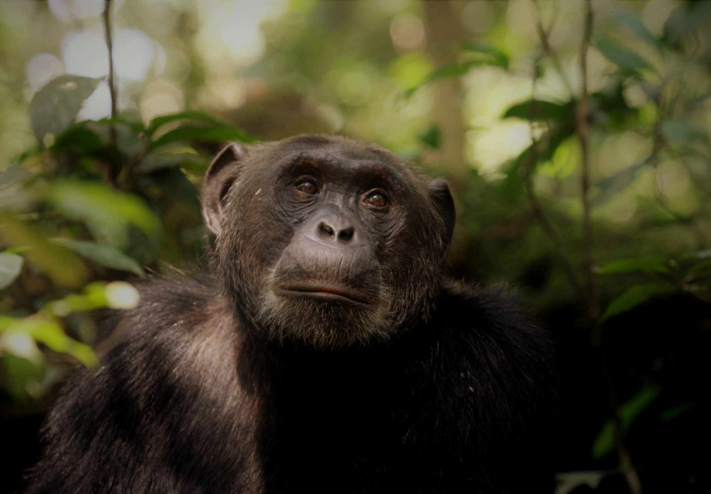 Chimpanzee looking at the Canopy ((Kibale Forest National Park)