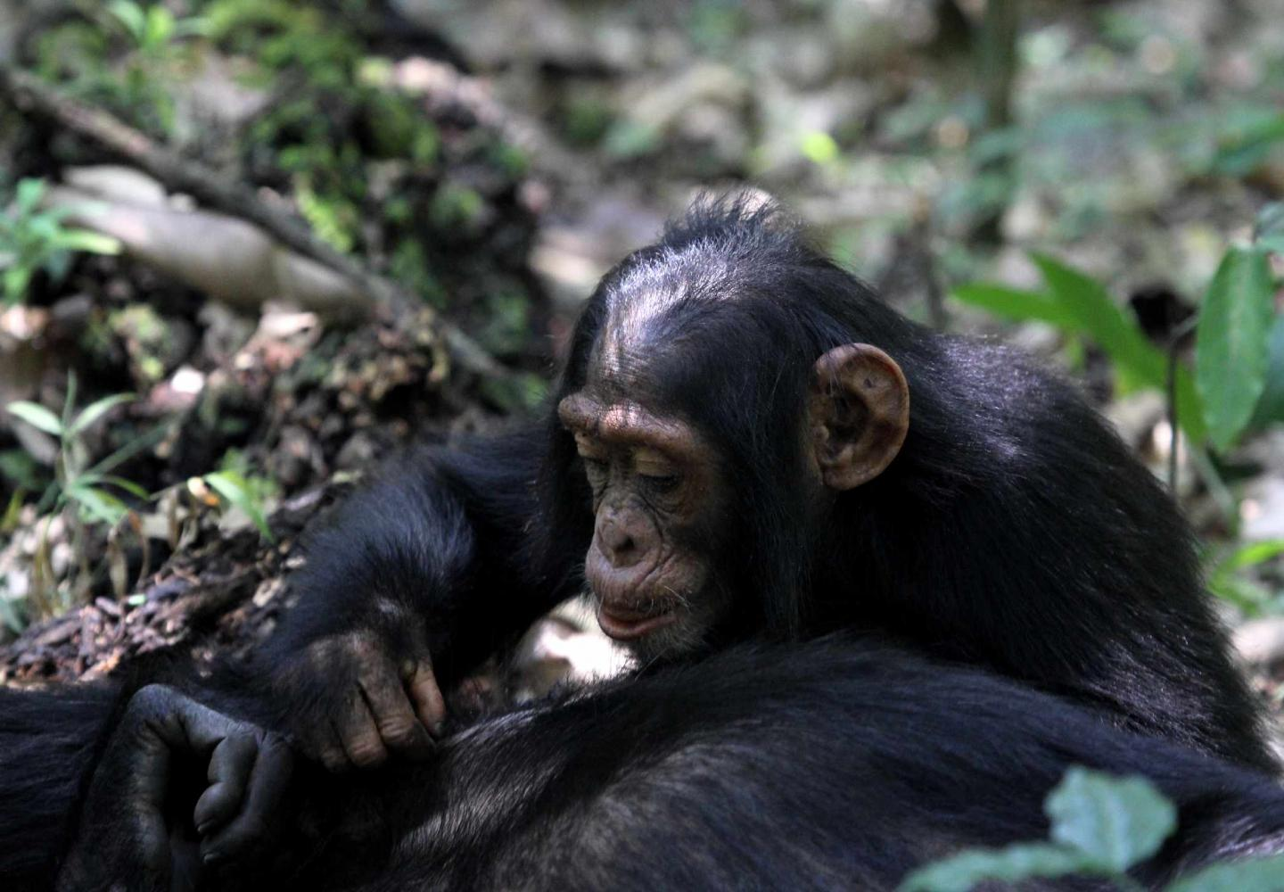 Juvenile Chimp grooming (Kibale Forest National Park)