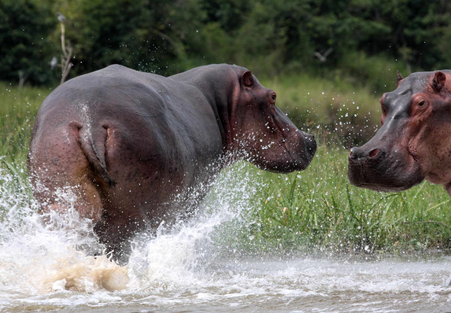 Two hippo on the bank of the Victoria River Nile (Murchsion Falls Uganda)