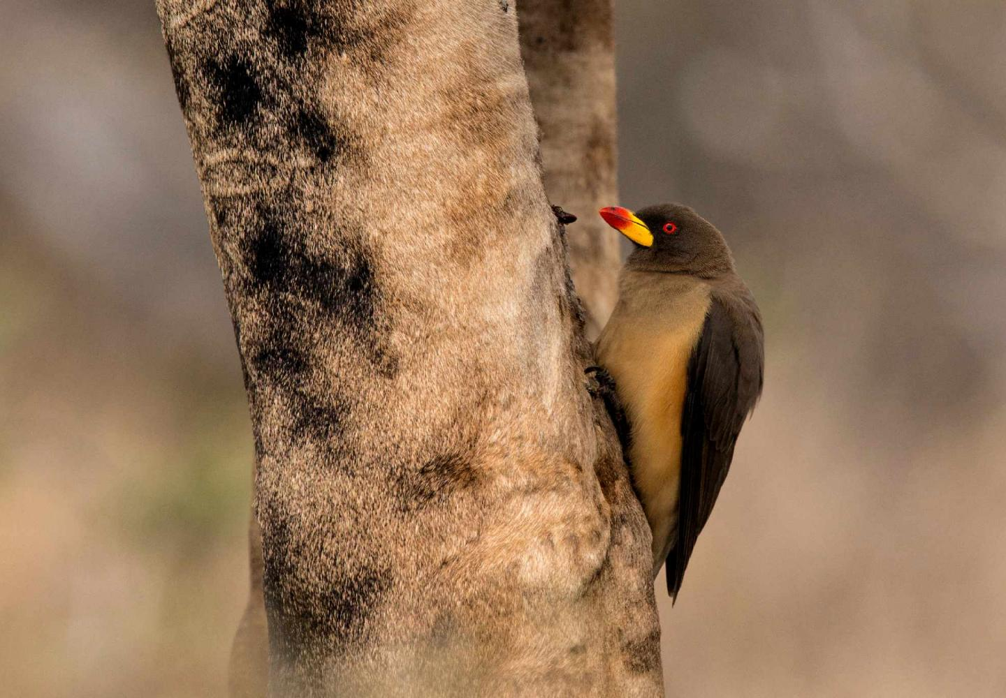 Yellow-billied Oxpecker on Giraffe leg