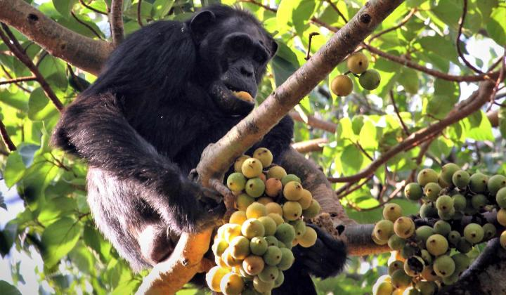 Chimpanzee in fig tree (Kibale Forest Uganda)