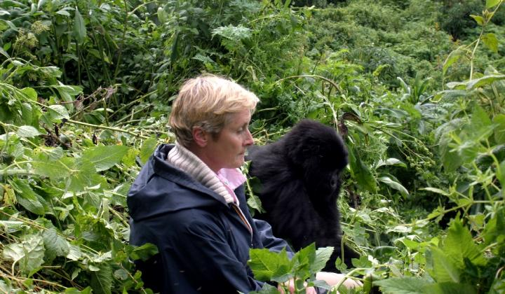 Close encounter of Juvenile mountain Gorilla and Tourist (Volcanoes NP Rwanda)