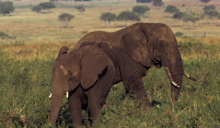 Two Elephants in Kidepo plain ( Kidepo National Park Uganda)