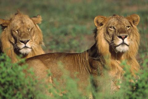 Young altult male Lions observed during Predators Tracking (Queen Elizabeth Uganda)