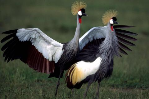 Grey Crowned Crane, Uganda's National Bird