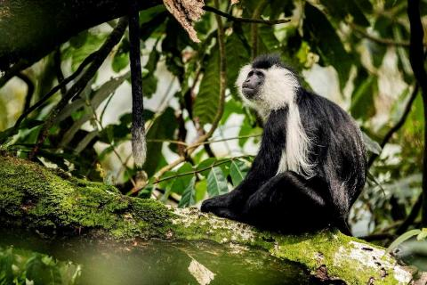 Angolan Colobus Monkey  (Nyungwe Forest National Park)