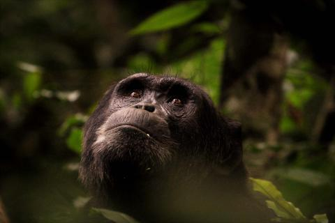 Chimpanzee looking at the canopy of Kibale Forest (Uganda)